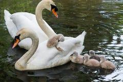 Bebé del cisne mudo Imágenes de archivo libres de regalías