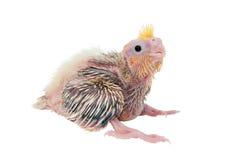 Bebé del Cockatiel Fotografía de archivo libre de regalías