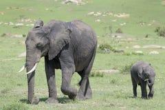Bebé del elefante africano en sabana Fotografía de archivo