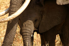 Bebé del elefante que oculta por debajo mamá Foto de archivo