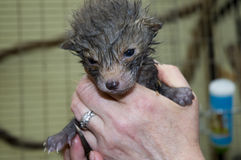 Bebé del Fox a disposición (vulpes del Vulpes) Fotografía de archivo libre de regalías
