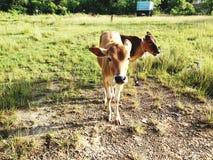 Bebé del ganado Foto de archivo