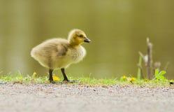 Bebé del ganso de Canadá Fotografía de archivo libre de regalías
