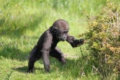 Bebé del gorila fotografía de archivo libre de regalías