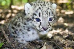 Bebé del leopardo de nieve Imagen de archivo