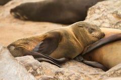 Bebé del lobo marino Fotos de archivo libres de regalías