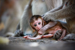 Bebé del mono Fotografía de archivo libre de regalías