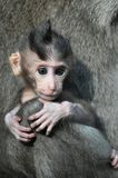 Bebé del mono. Bali, Indonesia. Imagenes de archivo