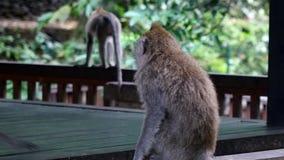 Bebé del mono con los animales adultos en Bali almacen de metraje de vídeo