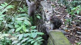 Bebé del mono con los animales adultos en Bali almacen de video