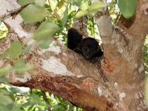 Bebé del mono de chillón, palliata del Alouatta Foto de archivo libre de regalías