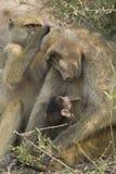 Bebé del oficio de enfermera de la madre del babuino de Chacma, Botswana Foto de archivo libre de regalías