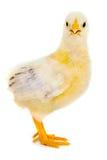 Bebé del pollo Imágenes de archivo libres de regalías