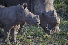 Bebé del rinoceronte con la mamá Imágenes de archivo libres de regalías