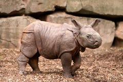 Bebé del rinoceronte indio Fotografía de archivo
