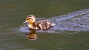 Bebé Duck Closeup Fotografía de archivo libre de regalías