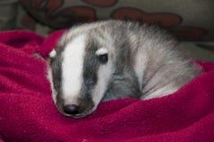 Bebé durmiente del tejón Fotos de archivo libres de regalías