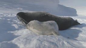 Bebé, familia del sello de Weddell del adulto en la Antártida almacen de video