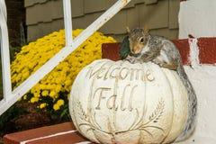 Bebé Gray Squirrel Fotos de archivo libres de regalías