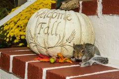 Bebé Gray Squirrel Fotografía de archivo