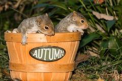 Bebé Gray Squirrels Imágenes de archivo libres de regalías