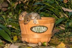 Bebé Gray Squirrels Fotografía de archivo libre de regalías