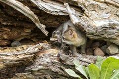 Bebé Grey Fox en guarida Imagenes de archivo