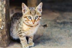 Bebé Himalayan elegante Cat Looking en la cámara en el pueblo fotos de archivo