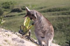 Bebé Kangaro que despierta por la mañana Imagenes de archivo