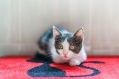 Bebé lindo Cat Portrait At Home imagen de archivo