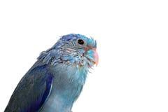 Bebé lindo Parrotlet pacífico, coelestis de Forpus, encaramados contra Foto de archivo libre de regalías