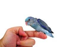 Bebé lindo Parrotlet pacífico, coelestis de Forpus, encaramados contra Fotografía de archivo