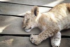 Bebé Lion Sleeping fotos de archivo libres de regalías