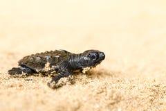 Bebé Marine Turtle Close Up Fotografía de archivo libre de regalías