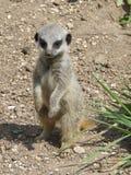 Bebé Meerkat Fotografía de archivo
