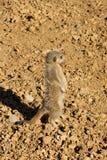 Bebé Meerkat Imagenes de archivo
