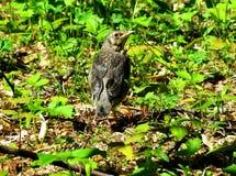 Bebé negro del pájaro Fotografía de archivo libre de regalías