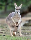 Bebé o joey gris australiano del canguro en bolsa imagenes de archivo