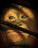 Bebé Orang Utan detrás de la jaula Foto de archivo libre de regalías
