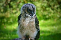 Bebé Owl Calling para la comida fotografía de archivo