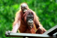 Bebé que lleva de Orang Utan Fotografía de archivo