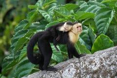 Bebé que lleva del mono adulto del capuchón en su parte posterior Imagenes de archivo