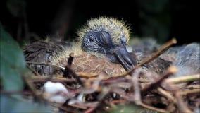 Bebé recién nacido de la paloma en jerarquía metrajes