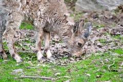 Beb? siberiano del cabra mont?s que come el primer de la hierba foto de archivo libre de regalías