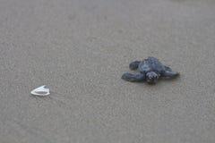 Bebé verde oliva de la tortuga de mar del ridley en el camino al océano Imágenes de archivo libres de regalías
