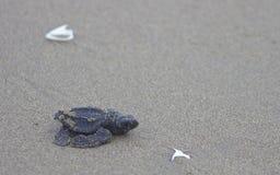 Bebé verde oliva de la tortuga de mar del ridley en el camino al océano Foto de archivo libre de regalías