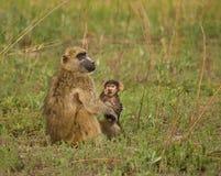 Bebé y hoja del babuino de Chacma Fotos de archivo