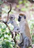 Bebé y madre del mono de Vervet en el árbol Imagen de archivo libre de regalías