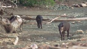 Bebé y mamá del tapir en la playa de Corcovado almacen de video