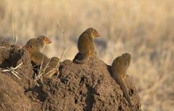 Bebés de la mangosta Fotografía de archivo libre de regalías